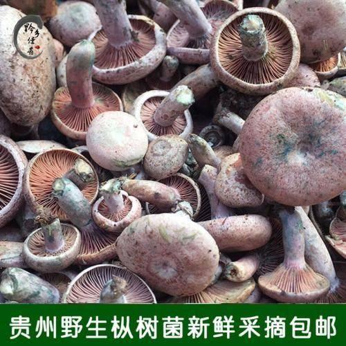 贵州省黔南布依族苗族自治州罗甸县 野生松树菌