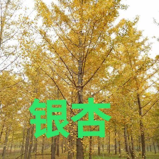徐州邳州市 銀杏樹—2020年春季報價表
