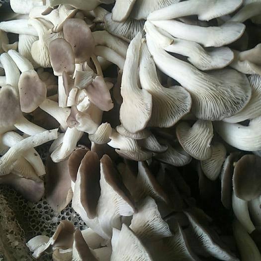 成都 自家种植的秀珍菇