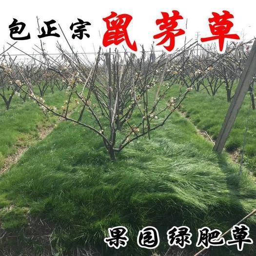 宿迁沭阳县 进口鼠茅草种子果园树林绿肥正品包邮