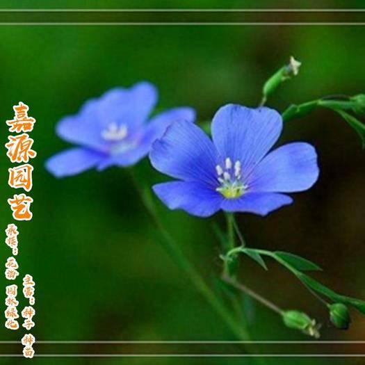 成都锦江区 蓝花亚麻种子新种子包邮