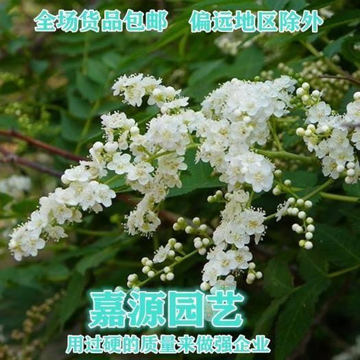 成都锦江区 珍珠梅种子包邮