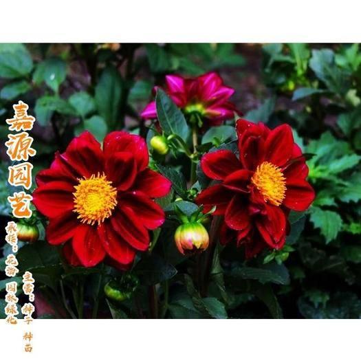 成都锦江区 小丽花种子包邮