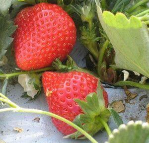 泰安 草莓苗
