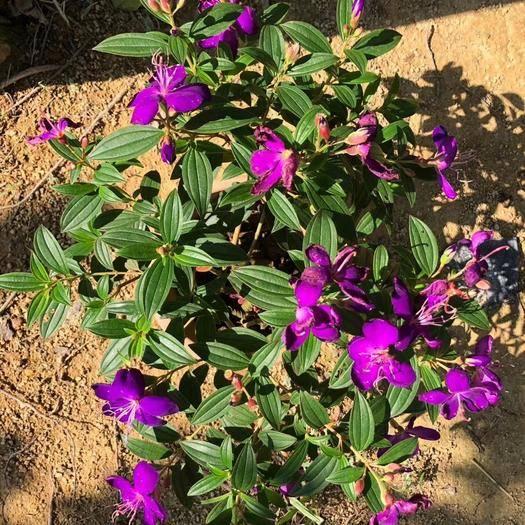 漳州漳浦县野牡丹苗 野牡丹紫牡丹红盆苗30高以上