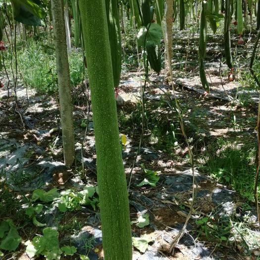 广西壮族自治区贵港市桂平市 专业规模种植丝瓜络,长年供应优质丝瓜络