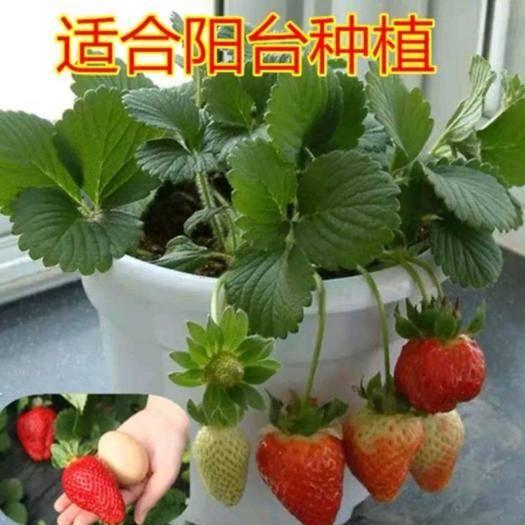 平邑县草莓盆栽 盆栽草莓苗  品种齐全  带盆发货  保证成*率