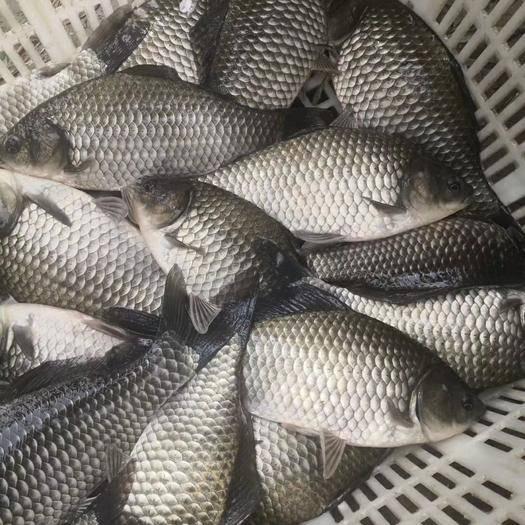 中江县 鲫鱼苗成品鱼销售