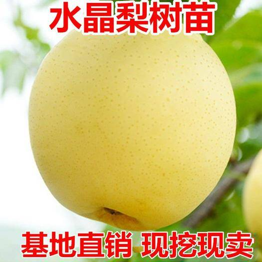 平邑县 皇冠梨树苗酥脆梨果树苗香梨水晶雪梨嫁接梨树苗南方北方种植