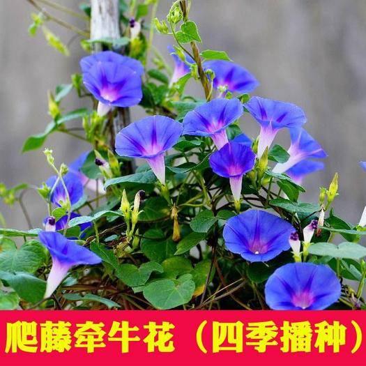 宿迁沭阳县 大牵牛花种子四季易种活的庭院花卉种子爬藤喇叭花矮牵牛花盆栽