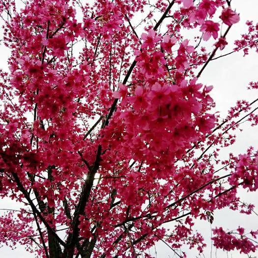 邵武市 中國紅櫻花大量供應中,各種規格應有盡有