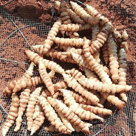 甘肃省兰州市皋兰县宝塔菜 精品螺丝菜,精品地环、红沙地生长,勉水洗,个头大个头均匀