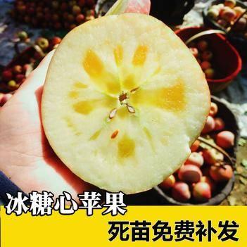 红富士苹果苗冰糖心苹果树苗嫁接当年接果盆栽地栽南北方种植果