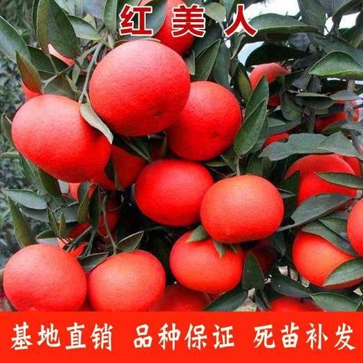 临沂平邑县美人红柑桔苗 基地直发  成活率高  果实口感好