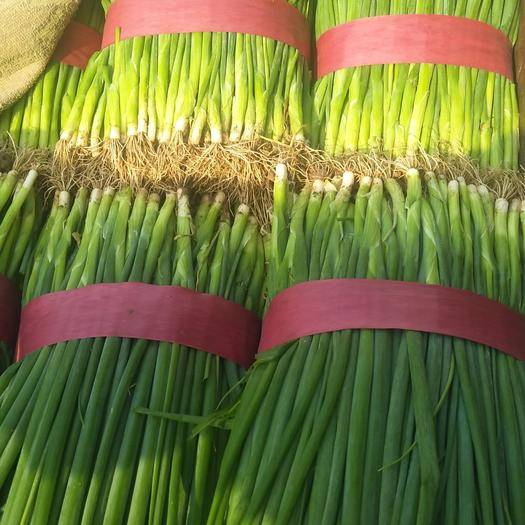 河南省平顶山市汝州市 小香葱,量大,质量好,叶绿,欢迎前来定货