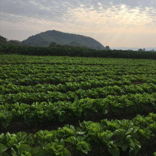 广西壮族自治区贺州市富川瑶族自治县 自家种的亮货包芯芥菜60亩