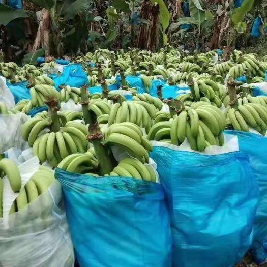 文山文山市 大量供货香蕉 皮薄肉厚 香甜可口 全年上架