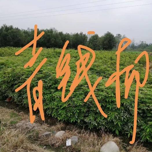 永州東安縣青錢柳 一年生種子苗
