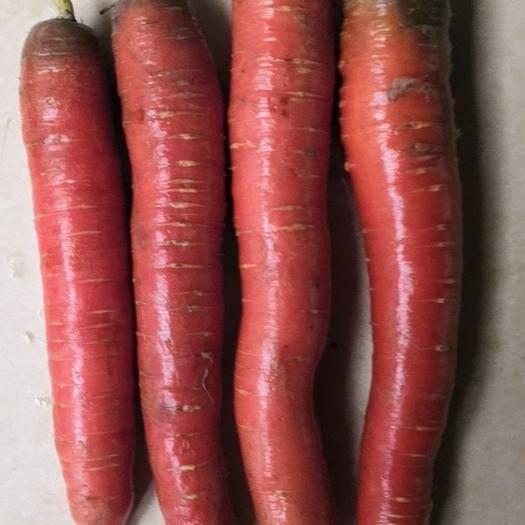 甘肃省武威市凉州区秤杆红萝卜 有兴趣,发消息给我,细谈。
