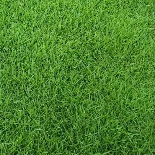 上海杨浦护坡草种子 护坡草籽种子固土绿化草籽四季常青草坪种子小区公园耐践踏草种