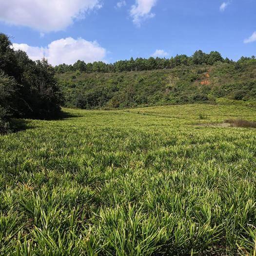 云南省红河哈尼族彝族自治州建水县 中黄姜,二十多亩