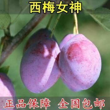 临沂平邑县西梅苗 嫁接李子树苗品种齐全包成活包品种