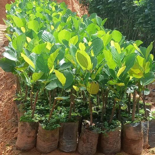 钦州灵山县马来西亚一号菠萝蜜苗 马来西亚一号菠萝密苗,嫁接苗,营养杯发货