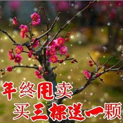 臨沂平邑縣 臘梅盆景 紅梅盆景 梅花香自苦寒來 自產自銷 包成活