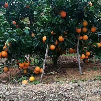正宗赣南脐橙11月6日开采,有需要的跟我联系一件代发。