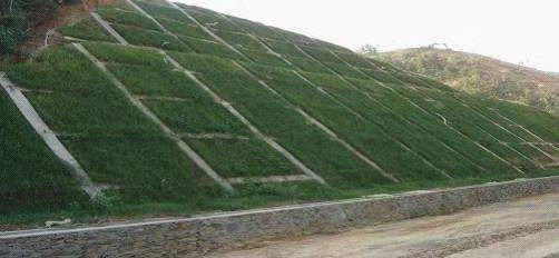 上海松江 护坡草种子草籽草坪种子四季青不修剪绿化草皮草籽庭院护坡草种