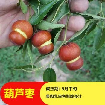 枣树苗活苗葫芦枣特大盆栽地栽嫁接果树苗南方北方种植当年结果