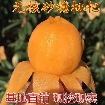 当年结果四川新品种无核砂糖枇杷树苗盆栽地栽无籽枇杷苗嫁接果