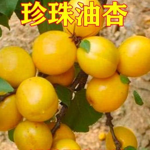 临沂平邑县 珍珠油杏苗 当年结果 现挖现卖