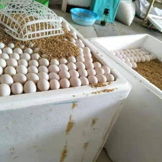 駐馬店西平縣白鴿蛋 鴿蛋