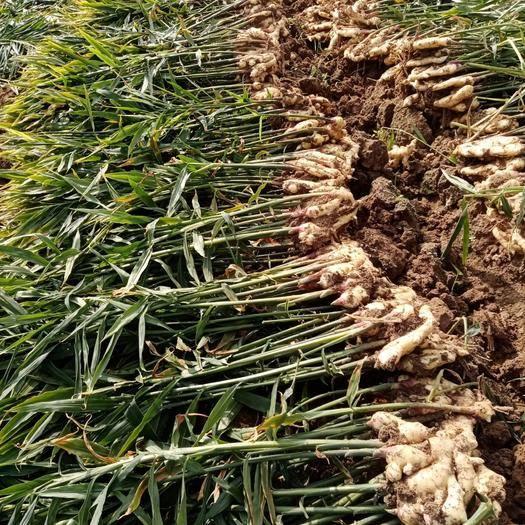 山东省潍坊市坊子区黄姜 山东大姜质量好价格优。