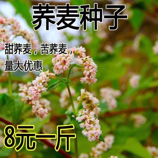 宿迁沭阳县 蜜源植物芽苗菜种籽苦荞麦甜荞麦种子四季可播