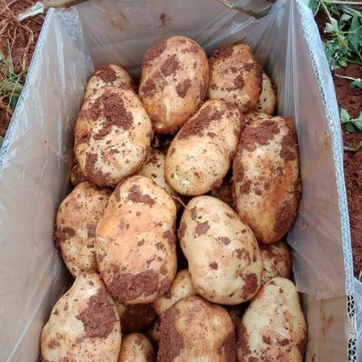 云南省曲靖市陆良县 新鲜土豆,20吨起批,先到先得,价格详谈
