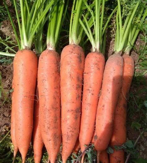 河北省保定市清苑区三红胡萝卜 三红萝卜即将大量上市