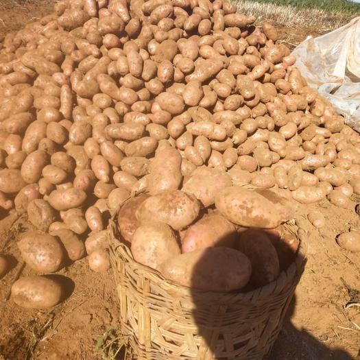 云南省大理白族自治州剑川县 合作88土豆,3两起步统货