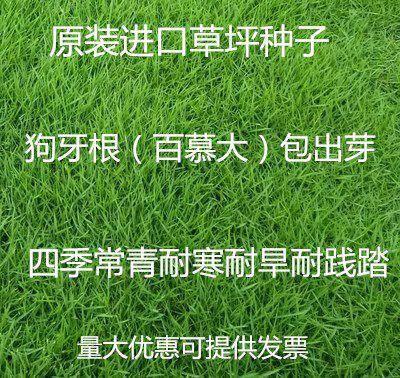 宿迁沭阳县狗牙根种子 草坪种子狗牙根进口四季青护坡草百慕大草种籽绿化草皮种子
