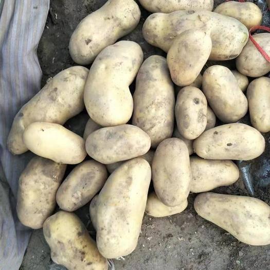 河北省承德市围场满族蒙古族自治县荷兰15号土豆 活我说好,不行。您说好,那才是您最满意的。