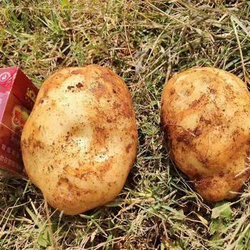 丽薯6号,大量现货上市。