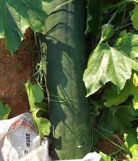 广西壮族自治区北海市合浦县 地冬瓜中的吊瓜质量