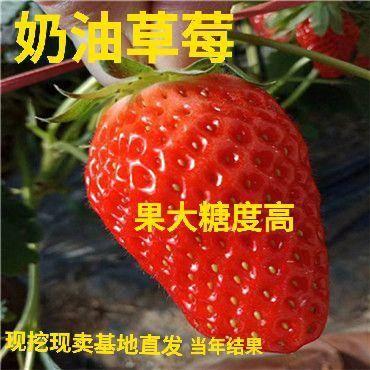 平邑县 精选奶油草莓苗  味甜果香  基地直供  保成* 死苗补发