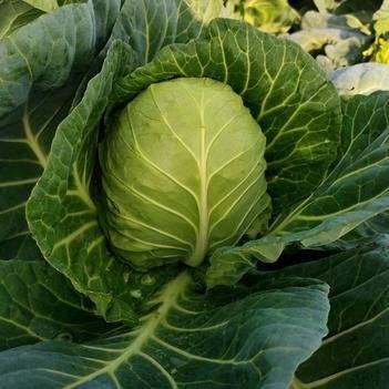 绿甘蓝 1.5~2.0斤