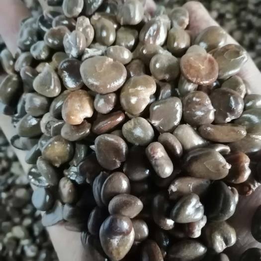 怀化通道侗族自治县黑老虎种子 自家果园自留种子