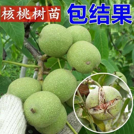 平邑县 薄皮核桃苗 丰产 口感好 量多优惠