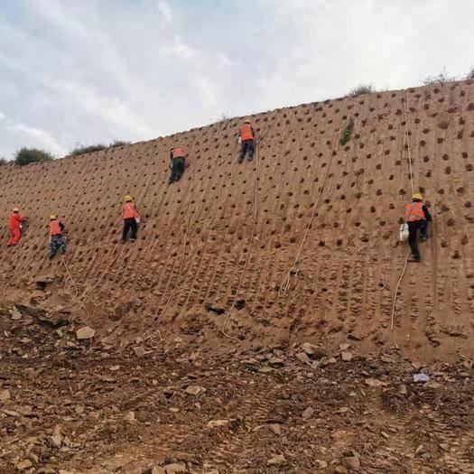 民权县 专业打孔栽种紫穗槐苗规格齐全发货全国各地高速护坡工程用苗