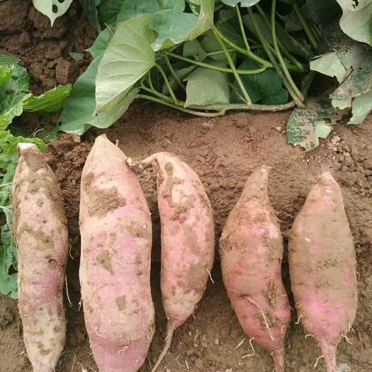 河南省商丘市民权县 河南省,老黄河滩红薯,一手货源,质量有保证,