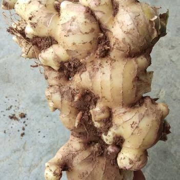 大肉姜 广西本地姜产地直供3两以上 5斤起批